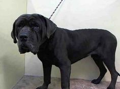 URGENT - Manhattan Center    FANG - A0993544   MALE, BLK SMOKE, MASTIFF MIX, 3 yrs  STRAY - STRAY WAIT, NO HOLD  Reason STRAY   Intake condition NONE Intake Date 03/09/2014, From NY 11213, DueOut Date 03/12/2014,  https://www.facebook.com/Urgentdeathrowdogs/photos_stream