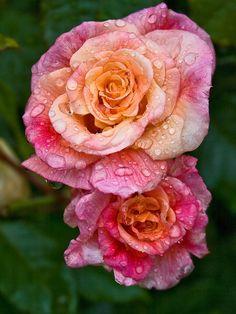 """""""Aloha"""" Rose"""