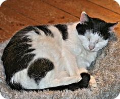 Norristown, PA - Domestic Shorthair. Meet Mookie, a cat for adoption. http://www.adoptapet.com/pet/14245861-norristown-pennsylvania-cat