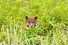 hiding cub - A cub hiding in some long grasses