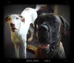 Great dane Philmore is the brindle euro and great dane puppy Gracie is our baby girl