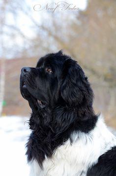 #Newfoundland Newfie #НьюфФёдор Newfoundland dog