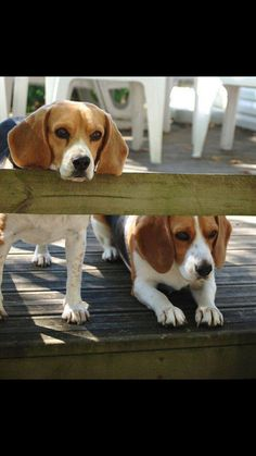 The beagle is a breed of hunting dog that has been a popular human companion for centuries. Here list of different types of beagles. Cute Beagles, Cute Puppies, Dogs And Puppies, Baby Dogs, Pet Dogs, Dog Cat, Pet Pet, Terriers, Animals And Pets