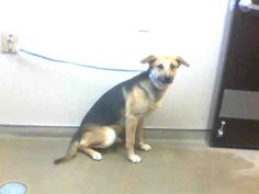 *GUS-ID#A691909    Shelter staff named me GUS.    I am a male, black and brown German Shepherd Dog.    The shelter staff think I am about 1 year and 1 month old.    I have been at the shelter since Dec 31, 2012.