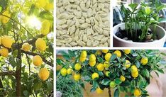 Want to grow a beautiful lemon tree at home or in your garden? Then don't hesitate to read this article on how to germinate lemon seeds! Growing Lemons From Seeds, Lemon Seeds, Citrus Garden, Baumgarten, Garden Trees, Plantation, Growing Vegetables, Container Gardening, House Plants