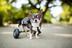 https://flic.kr/p/JwgRR2 | Tiara | This sweetheart is 15 years young. She's lost the use of her back legs, but doesn't let that stop her from wheeling around in this awesome cart.