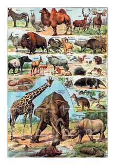 Planche du Larousse Universel en deux volumes, Plate from the Larousse Universel in two volumes, A voir en haute résolution / See this in high resolution Voir l'index des planches ici See the index of all the plates hereVintage French Print of Mammals Pl Jungle Animals, Animals And Pets, Wild Animals, Draw Animals, Elephant Afrique, Sibylla Merian, Animal Posters, Wildlife Art, Antique Prints