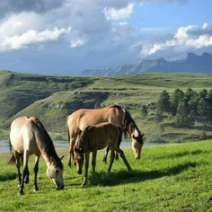 Wild horses grazing at Penwarn Lodge in the southern Drakensburg mountains Wild Horses, Southern, Environment, Wanderlust, Mountains, Animals, Animales, Animaux, Animal