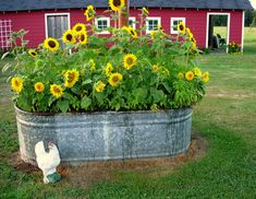 shut the front door.a stock tank full of sunflowers!anyone have an empty stock tank handy? Pig feeder in garden. Lawn And Garden, Garden Art, Garden Design, Herb Garden, Garden Beds, Garden Pond, House Design, Plant Design, Garden Plants