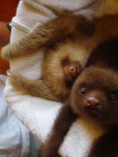 Baby sloths! So cute.... funny Eric loves sloths.
