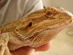 ▶ How to Trim Bearded Dragon Nails - YouTube