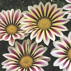 Big Kiss White Flame gazania seeds - Garden Seeds - Annual Flower Seeds