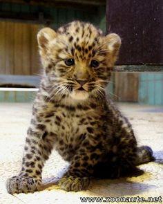 Naissance inédite au Zoo de Lyon : une panthère de l'Amour