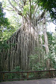 The Curtain Fig Tree, just outside of Yungaburra, is one of North Queensland's largest trees, and a truly impressive sight. The roots drop 15 metres to the ground! Only around an hour and a half's drive from Paronella Park, it's well worth the detour!