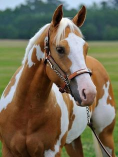 Beautiful Palomino Tobiano Paint Horse Most Likely The Structure Definitely Makes Me Lean Towards A