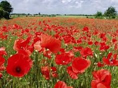 Field of poppies All Flowers, Pretty Flowers, Champs, Decoration Plante, Beautiful Flowers Wallpapers, Plant Drawing, Drawing Projects, Flower Wallpaper, Shrubs