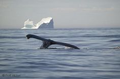 Two in one:   See a Humpback Whale and an Iceberg