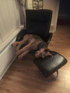 Airedale Sleep Position #517