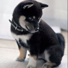Baby Shiba Inu. I saw one of these recently in San Diego and they are so beautiful!