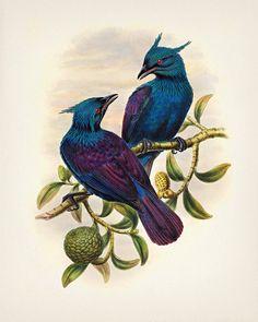 Trompeta manucode Ave del paraíso - impresión de la bella arte de una historia natural de época antigua ilustración