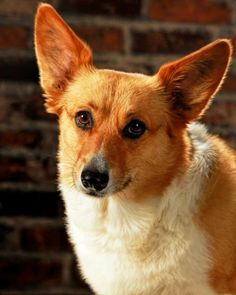 She has a sad story behind. Maybe we can help finding a loving home for the sweet baby. http://www.doggielife.com/riley/dogs/G8L6M3 #dogs #corgi