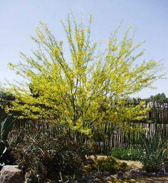 Parkinsonia aculeata hybrid  Desert Museum palo verde   Fabaceae Family