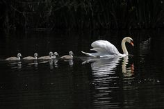 swan & cygnets on Dragonfly Pool by GVG Imaging, via Flickr