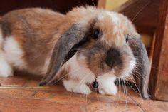 Rabbit Lord Bunnington <3 (now in the heaven for bunnies)