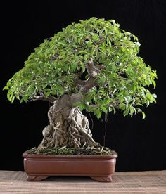 Bonsai Gallery of Budi Sulistyo Bunut (Ficus glauca) 87cm (35 inches)