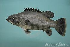 Stonebass Fish