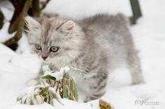 Deutsch Langhaarkitten im ersten Schnee