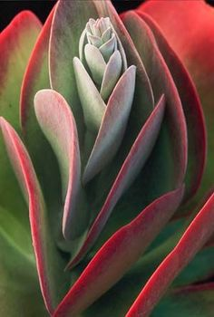 paddle plant succulent | Kalanchoe thyrsiflora, South Africa - Photography by Dr. Susan ...