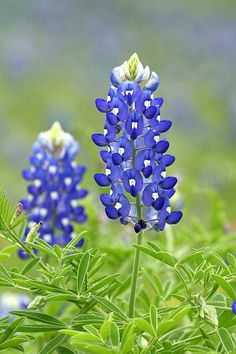 Next time I got to Texas, I want to get some bluebonnet seeds. They would be annuals in this climate, but if I gather the seeds once the flowers are spent, I could regrow them year after year...