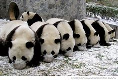Everyone knows that pandas are cute.