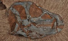 The South African Heterodontosaurus fossil skull.