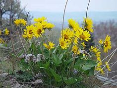 @Alison Fuhrhop: The Balsamroot flower grows all around my parents and I love seeing it grow. It makes the heals look covered in yellow when it is blooming. I can likely have my Mom pick and dry a bunch of these.  Picture of yellow arrowleaf balsamroot