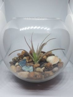 Perfect for valentines, house warming, birthday etc Window Ledge, Air Plant Terrarium, Seed Pods, Pebble Beach, Centre Pieces, Air Plants, Beach Themes, Decorative Items, House Warming