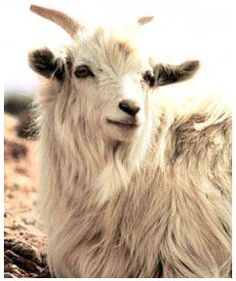 Cashmere Pashmina comes from Cashmere Goats and is a natural material in Shifman Mattresses.