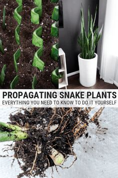 How to Propagate Snake Plants: Growing Snake Plant Cuttings Learn how to propagate snake plants, including how to propagate snake plant cuttings in water and how to propagate snake plants in soil. Snake Plant Propagation, Pothos Plant, Plant Cuttings, Big Indoor Plants, Large Plants, Indoor Gardening, Indoor Herbs, Water Plants, Cool Plants