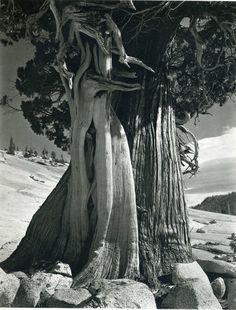 Edward Weston: Juniper, Lake Tenaya  (1937)