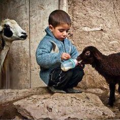 Afghan child feeding goats