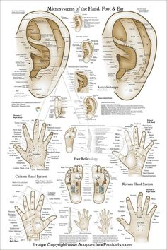 Acupuncture Ear Hand Foot Microsystem Poster X Acupressure Massage Reflexology Chart Akupunktur-Ohr-Handfuß-Mikrosystem-Plakat 24 Acupressure Massage, Hand Reflexology, Acupressure Therapy, Acupressure Chart, Lymph Massage, Hand Accupressure, Ear Acupressure Points, Point Acupuncture, Traditional Chinese Medicine