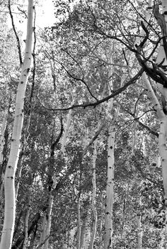 Aspen Trees of Telluride, CO. - Photo by Kim Hoeft