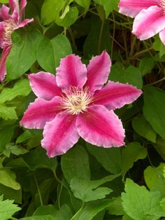 Fireworks Clematis Produces Glowing Bloom The pink and red petals of the clematis 'Fireworks' give a glowing look to these striking blooms.