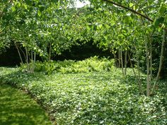 Bowles and wyer, Multistem trees, groundcover