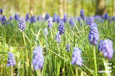 Spring nature photograph Bluebells Garden by OverTheRainbowPrints, $30.00