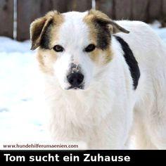 www.hundehilferumaenien.com/tom/   Tom ist im Juli 2016 geboren. Er wurde im Alter von 4 Wochen auf der Straße gefunden. Er ist der Bruder von Jackie die auch zur Vermittlung steht. Er ist kastriert und mittelgroß. #zuhausegesucht #suchezuhause #derbeste
