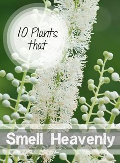 10 Heavenly Smelling Plants for Your Yard- Plants that smell delicious that are perfect for your yard and garden