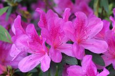 Azalea flowers - Flickr - Photo Sharing!