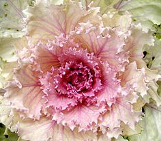 This, loves, is Ornamental Cabbage - This will change your life. Or at least your floral designs. Ornamental Cabbage, Ornamental Plants, Trees And Shrubs, Trees To Plant, Winter Hanging Baskets, Flowering Kale, Cabbage Flowers, Moon Garden, Garden Party Wedding